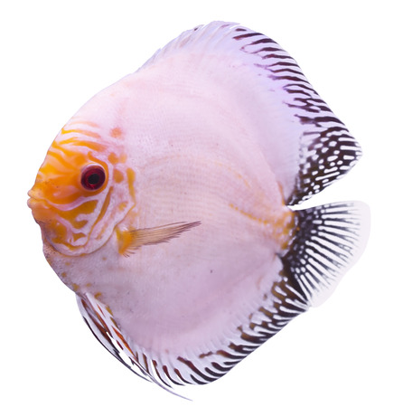 Solid Blue Fish