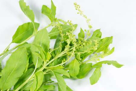 tulasi: holy basil on white background