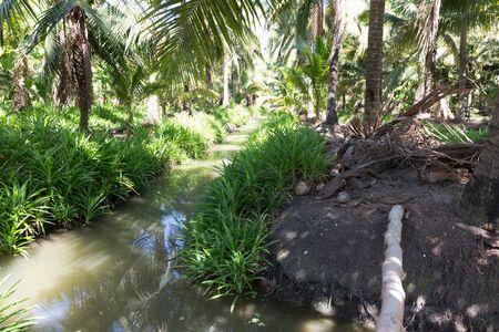 cocotero crece en la granja Foto de archivo