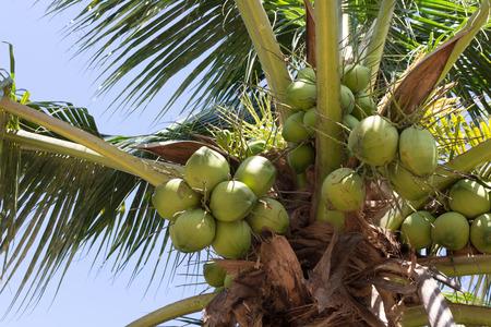 Sweet coconut tree with coconut fruit 免版税图像