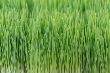 Close up Fresh green wheat grass background