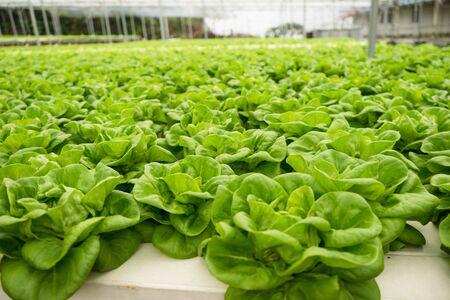 Butter head vegetable in hydroponic farm