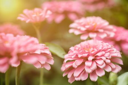 pink flower in the garden. selective focus