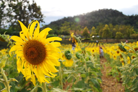 sunflowers field: Sunflower,Sunflowers,Sunflowers Field,moutain,view,landscape,nature,Flower,Yellow