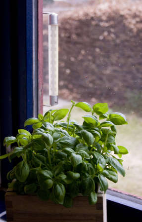 Fresh green Basil in a pot in a window next to a thermometre