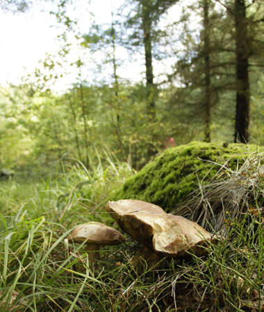 sep: A wild mushroom in a Norwegian forest, also known as Boletus edulis, penny bun, porcino or sep. Stock Photo