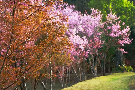 thanon: Cherry blossom  at doi in thanon chiangmai thailand