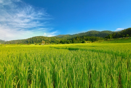 Rice terraced field in chiangmai thailand