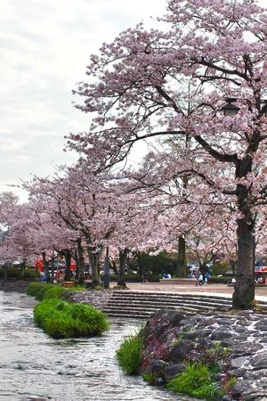 sengen: SAKURA IN FUJISAN SENGEN SHRINE ,FUJINOMIYA CITY, JAPAN