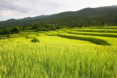 rice terrace at chiangmai , thailand Stock Photo