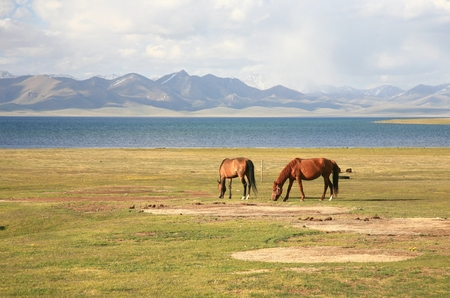 The horse  in a large meadow at Song kul lake ,  Naryn of Kyrgyzstan