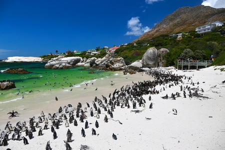 African Penguins at Boulders Beach located in Simon's Town Cape Town , South Africa Stock Photo