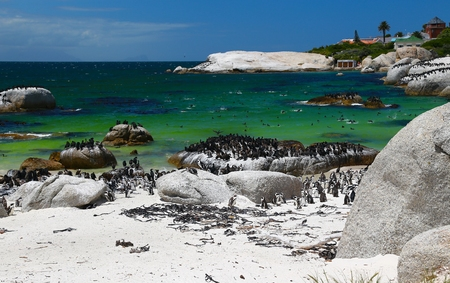 African Penguins at Boulders Beach located in Simon's Town Cape Town , South Africa