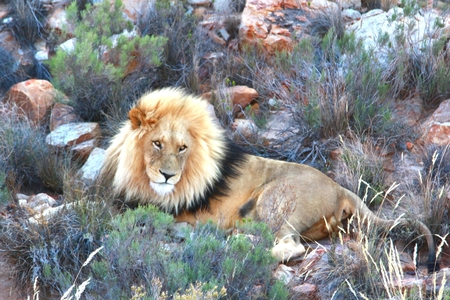 The lion safari in cape town , south africa Stock Photo