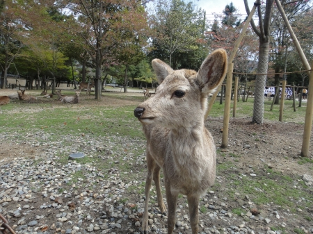 Deer at Todaiji Temple, Nara                         photo