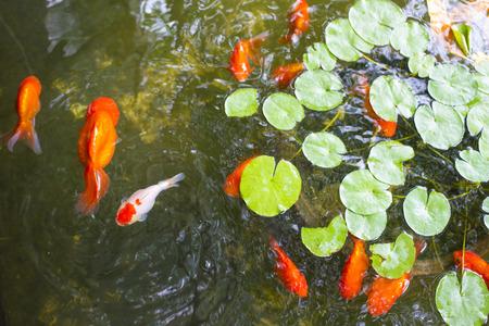 oranda: oranda lionhead Goldfish