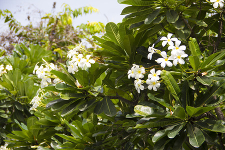 plumeria flower: Plumeria Flower Stock Photo
