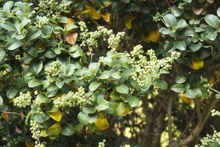 Commiphora wightii, with common names Indian bdellium-tree or Mukul myrrh tree, is a flowering plant in the family Burseraceae, which produces a fragrant resin called gugal that is used in incense and vedic medicine.