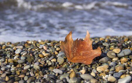 dry maple leaf on a sea background. late autumn on the sea coast. Autumn leaves on a pebble beach. copy space.