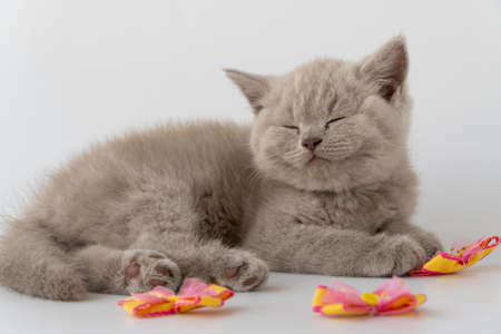 British shorthair cat. cute little kitten is lying and sleeping. cat smoky color. 08 August, World Cat Day