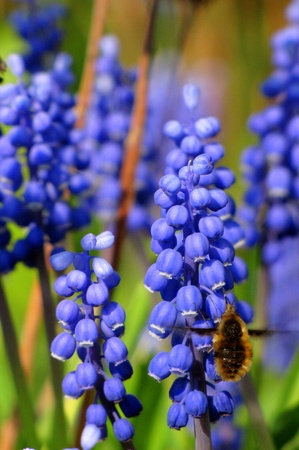 Large bee fly at grape hyacinths photo