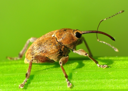 snout: Snout beetle with a serious snout