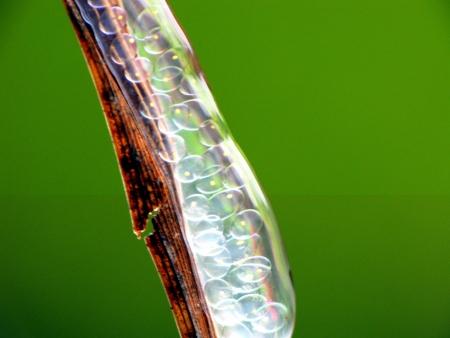 Closeup at ovules photo