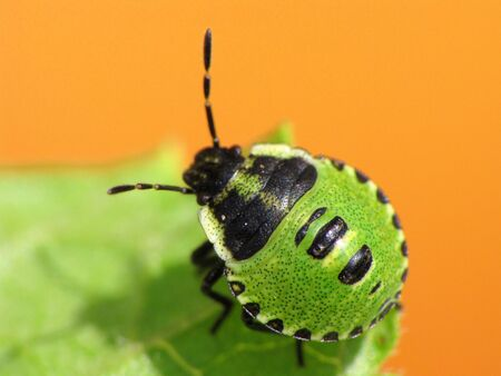 Green bug nymph. Cute. Stock Photo - 13730381
