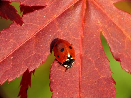 septempunctata: Ladybird at beautiful red leaf