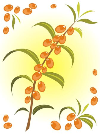 Stylized sea buckthorn berries  isolated on a white background. Vector