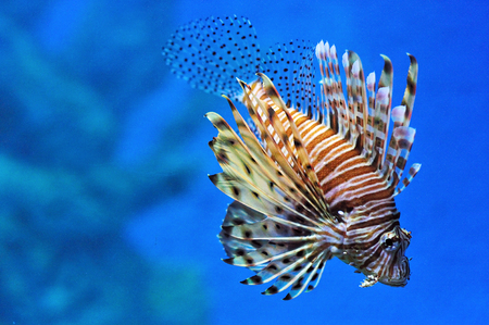 turkeyfish: Close up view of Lionfish in aquarium with blue background