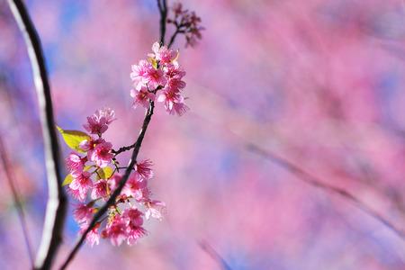 chiangmai: Cherry blossoms,Thailand sakura in ChiangMai, Thailand