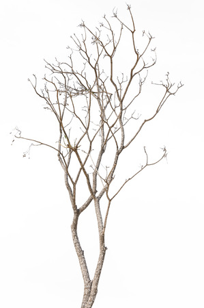 toter baum: Toter Baum isoliert auf weißem Hintergrund