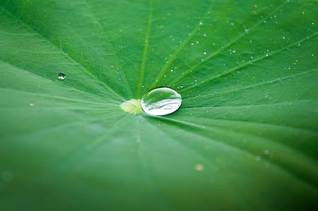 Feeling fresh from water drop on lotus leaf after hard rain Zdjęcie Seryjne