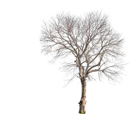 arboles secos: Árbol muerto aislado en blanco