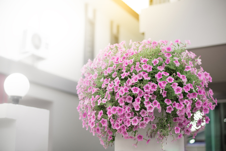 Bouquet of Petunia flowers put on the top of concrete poles,Home decoration with flowers Stock Photo