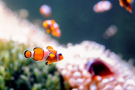 Clownfish, Amphiprioninae, in aquarium tank with reef as background. Stock Photo - 79495354