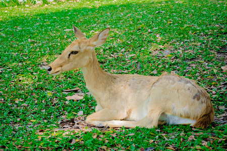 mule deer: Young whitetail deer doe on grass Stock Photo