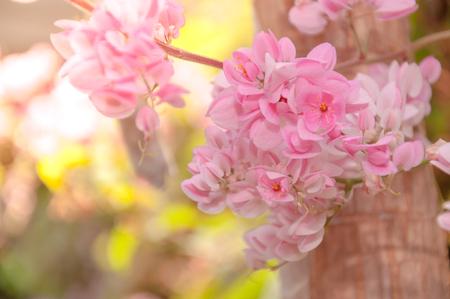 Fresh and sweet pinky orientalflowers, Mexican Creeper with scienc name : Polygonaceae, Antigonon leptopus Hook.