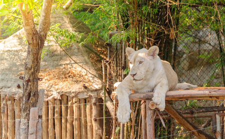 White lioness lay down on litter wood in open zoo