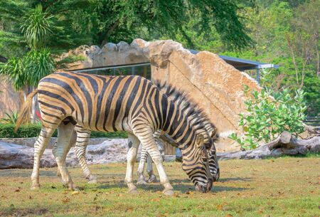 Zebra (Equus burchells) stand and eating grass
