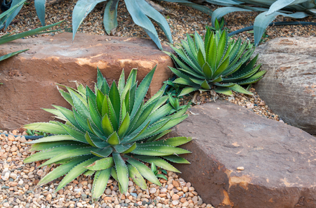 Agave plant tropical drought tolerance has sharp thorns.,Agave tequilana