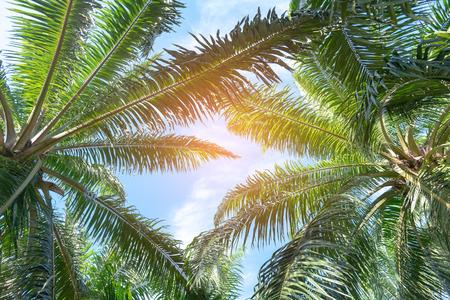 Bottom view of palm trees with blue sky, Palm trees at tropical beach. Zdjęcie Seryjne