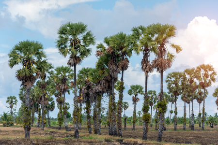 Toddy palm, landscape view of sugar palm tree with blue sky