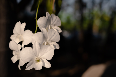 The branch of white orchid on a dark background - Image