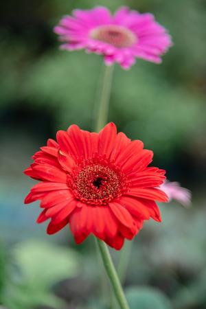 Fresh gerbera flower in the morning