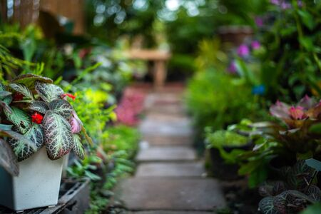 Foot walk path in the garden with ornamental plants and episcia cupreata in plastic pot on the left side.