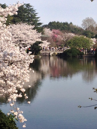 Admiring cherry blossoms at Shinjuku Gyoen.
