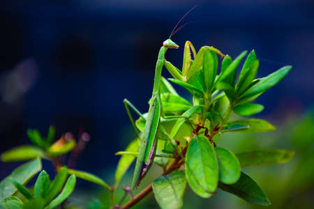 A green mantis on the leaf daytime closeup Standard-Bild