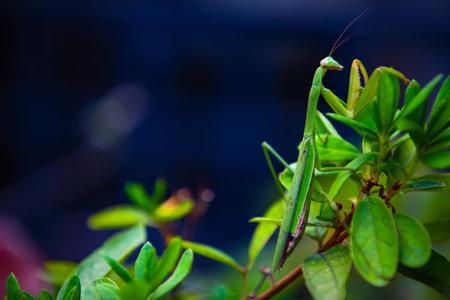 A green mantis on the leaf daytime closeup Standard-Bild